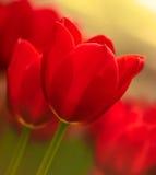 Macro rossa brillante del tulipano fotografia stock