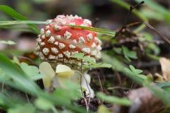 Macro rossa del fungo su fondo autunnale Fotografia Stock
