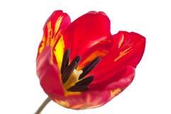 Macro rossa del tulipano Fotografia Stock Libera da Diritti