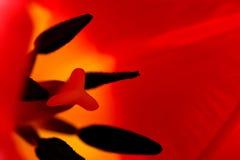 Macro rossa del tulipano Fotografia Stock
