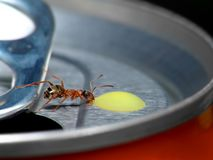 Macro rossa della formica sulla bevanda Fotografie Stock Libere da Diritti