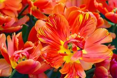 Macro rossa e gialla del primo piano del fiore del tulipano immagini stock libere da diritti