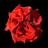 Macro rossa esotica scura surreale del fiore del tagete isolata immagini stock libere da diritti