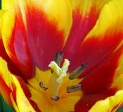 Macro rossa gialla del fiore del tulipano fotografia stock libera da diritti