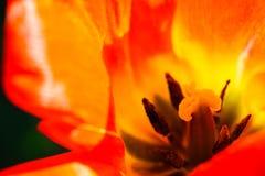 macro Rougeâtre-orange de tulipe photo stock