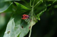 Macro rouge d'insecte Images libres de droits