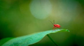 Macro rouge d'insecte photographie stock
