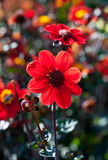 Macro rouge de dahlia Photo stock