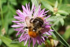 Macro of round fluffy orange Caucasian field bumblebee Bombus pa. Macro of a round fluffy orange Caucasian bumblebee Bombus pascuoruma with a striped abdomen royalty free stock photography