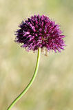 Macro of Round-headed leek flower Stock Photo