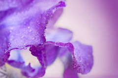 Macro roxo da flor da íris fotografia de stock royalty free