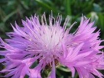 Macro roxo da flor da flor bonita imagens de stock