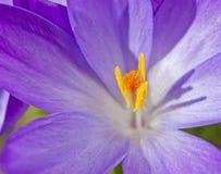 Macro roxo da flor do açafrão Fotografia de Stock