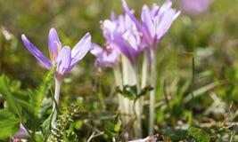 Macro roxo de florescência do autumnale do colchicum no fundo natural Imagens de Stock Royalty Free