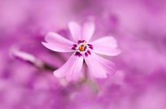 Macro roze bloem Stock Afbeelding