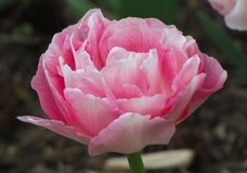 Macro Roze en Witte Groene Tulp w royalty-vrije stock afbeelding