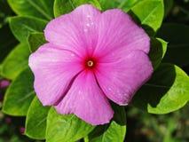 Macro roze pastorie Royalty-vrije Stock Afbeeldingen