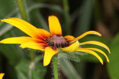 Macro of Rudbeckia hirta, Black-Eyed Susan flower. In the garden Royalty Free Stock Photography