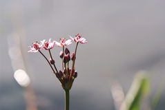 Macro of Rush flower (Butomus umbellatus).  stock images