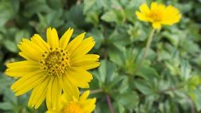 Macro s'élevant de fleur de wedelia Photos libres de droits