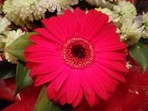 Macro sacada del escarlata, flor roja Foto de archivo