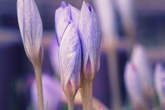 Saffron Flowers Crocus speciosus stock photo