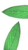 Macro sage leaf Stock Photos