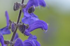 Salvia pratensis or meadow clary Royalty Free Stock Images