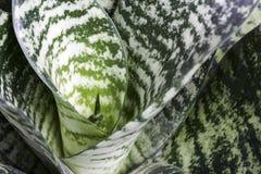 Macro sansevieria trifasciata or snake plant. Or succulent plant stock image