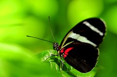 Macro, Sara Longwing butterfly on green leaf Stock Image