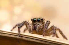 Macro sautant d'araignée Photo libre de droits