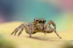 Macro sautant d'araignée Images libres de droits