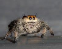 Macro sautant orange d'araignée Images stock