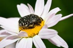 Macro scarabée d'Olenka, scarabée hirsute Photographie stock
