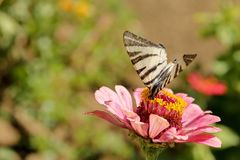 Macro of a Swallowtail Papilionidae butterfly drinking nectar on a pink zinnia elegans flower against blurred natural green backgr. Macro of a Scarce Swallowtail stock photo