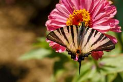 Macro of a Swallowtail Papilionidae butterfly on a zinnia elegans flower against blurred natural background on a bright summer day. Macro of a Scarce Swallowtail stock photography