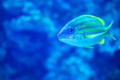 Macro scena di natura morta di punto di vista di grugnito del pesce esotico acquatico a strisce blu dell'acquario immagini stock libere da diritti