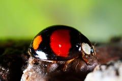 De macro van het lieveheersbeestje Stock Fotografie