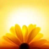 Macro schot van zonnebloem op gele achtergrond Royalty-vrije Stock Afbeeldingen