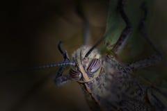 Macro scura della testa della cavalletta Fotografie Stock