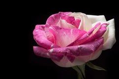 Macro scura surreale del fiore della rosa di rosa isolata su fondo nero Immagine Stock Libera da Diritti