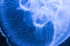 Jellyfish. Macro of a sea jellyfish, transparent blaca on a blue background Royalty Free Stock Photos