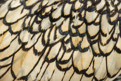 Macro of Sebright bantam rooster's feather Stock Image