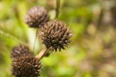 Macro seca del racimo de flor Imagen de archivo libre de regalías