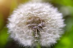 Macro seed head of dandelion on background of green grass royalty free stock photos