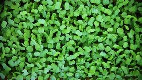 Macro of seedlings. green background. arugula seedlings Stock Photo