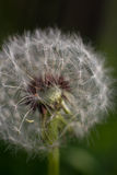 Macro seeds of dandelion illuminated by sun. On blurry black green background Stock Photography