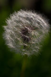 Macro seeds of dandelion illuminated by sun. On blurry black green background Stock Images
