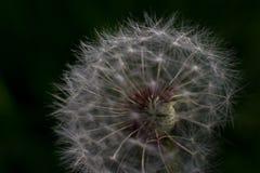 Macro seeds of dandelion illuminated by sun. On blurry dark background Stock Photography