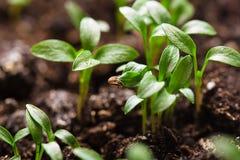 Macro seeds growing Stock Image